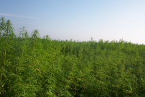 hemp crop growing in field