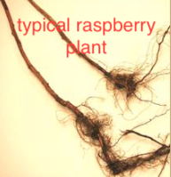bare root raspberry plant