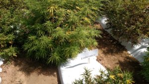 """Endurance"" hemp plant showing signs of Boron deficiency"