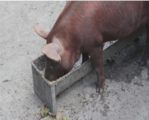 Pig eating out of feed trough