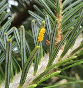 Lady beetle eggs