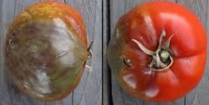 Image of tomato with late blight