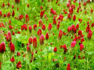 Image of crimson clover