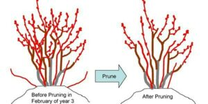 Drawing of blueberry bushes before and after pruning